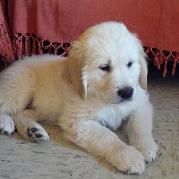 Golden Retriever Ayla