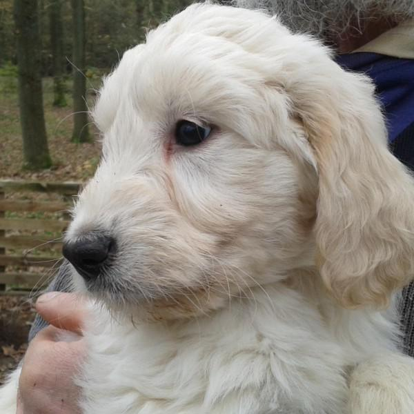 Goldendoodle Fee